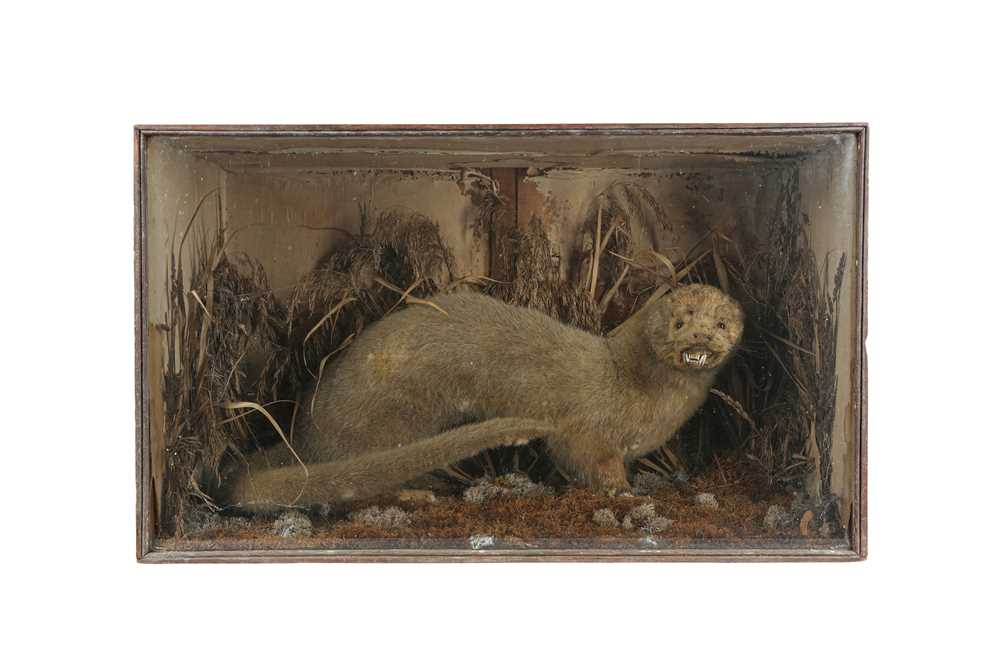 A TAXIDERMY VICTORIAN OTTER TOGETHER WITH A STAG'S HEAD - Image 2 of 6