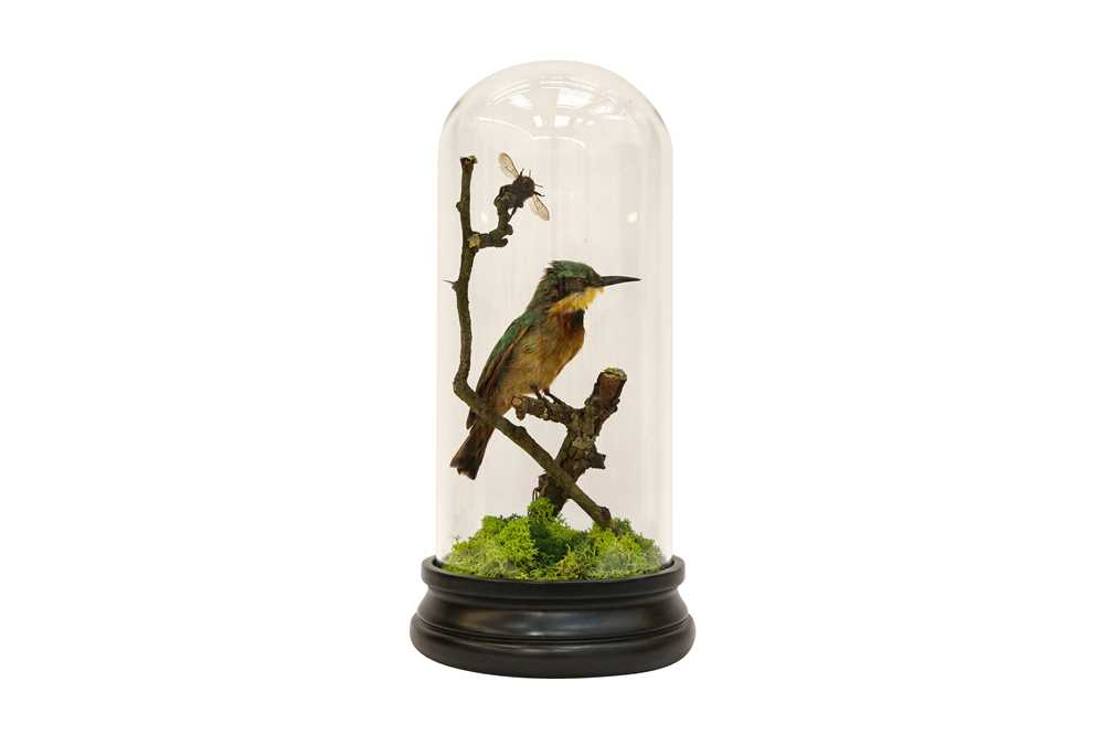 TAXIDERMY: A LITTLE BEE-EATER (MEROPS PUSILLUS) IN GLASS DOME - Image 2 of 5