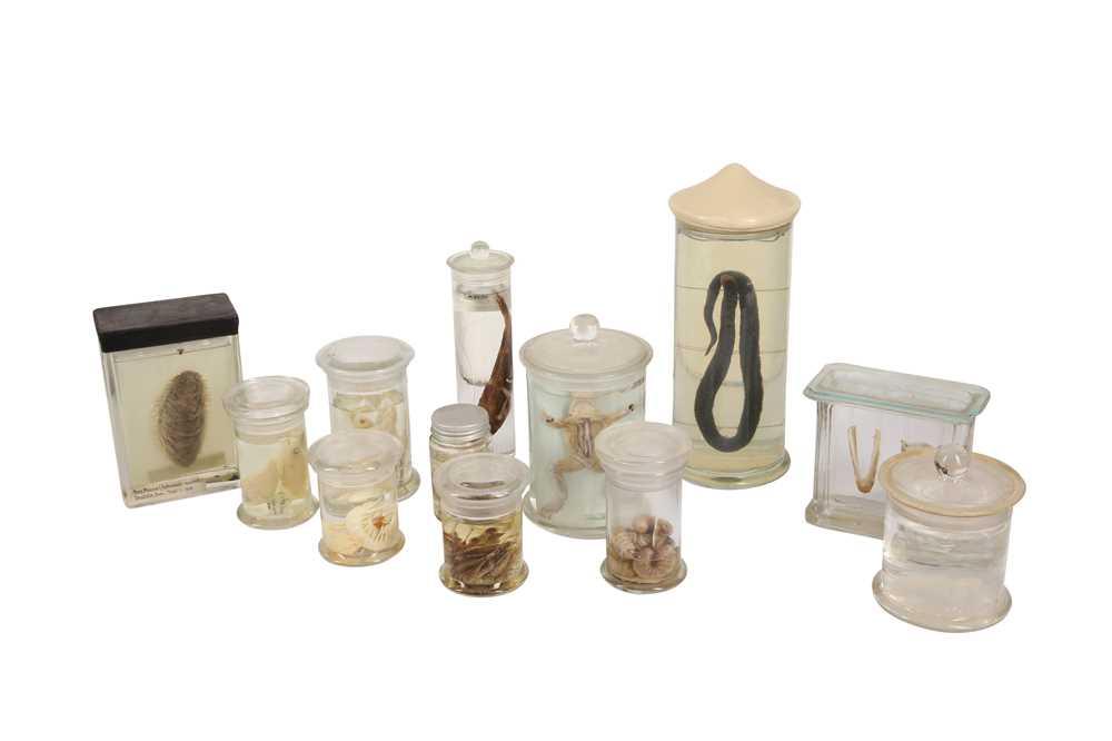 A COLLECTION OF TWELVE PICKLED WET SPECIMENS IN JARS