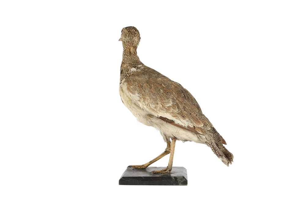 A VICTORIAN TAXIDERMY LITTLE BUSTARD - Image 3 of 4