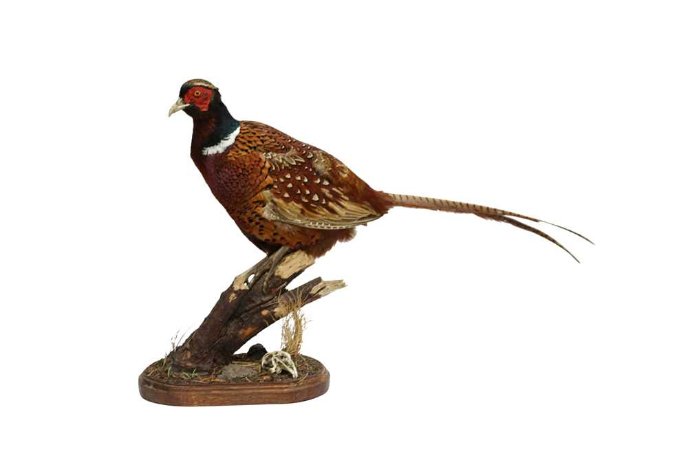 TAXIDERMY: RING-NECKED PHEASANT (PHASIANUS COLCHICUS)