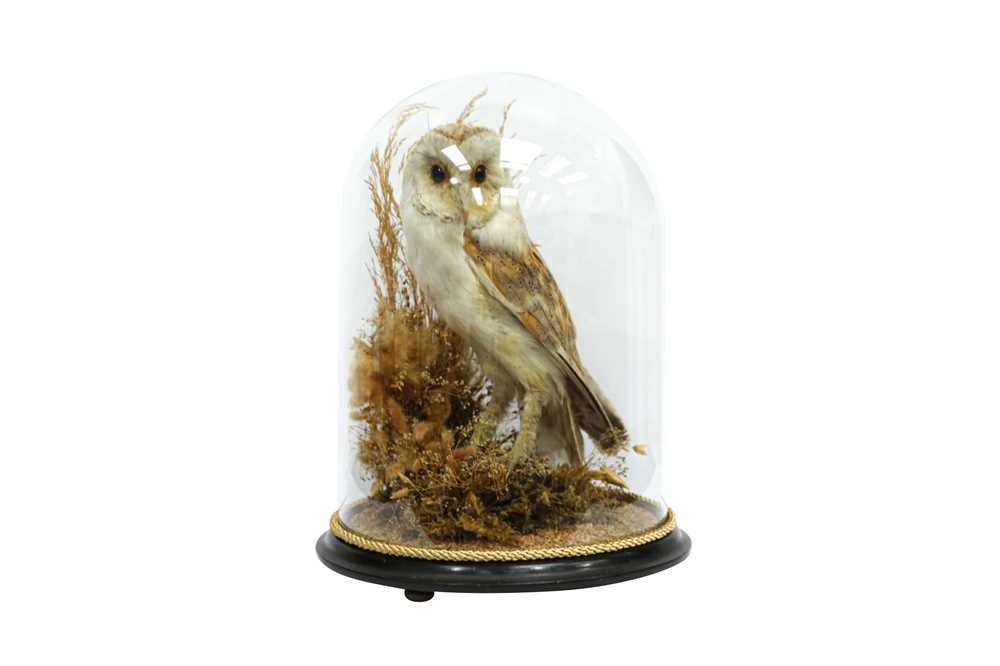 TAXIDERMY: A VICTORIAN BARN OWL IN GLASS DOME - Image 5 of 5