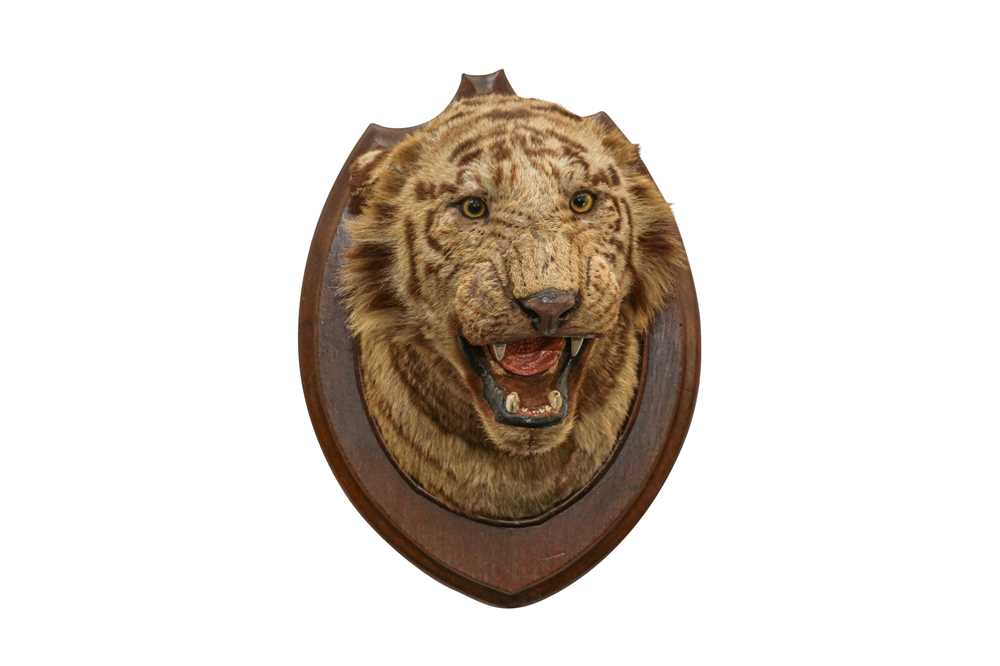 TAXIDERMY: A BENGAL TIGER (PANTHERA TIGRIS) HEAD BY THEOBOLD BROS., INDIA - Image 3 of 3
