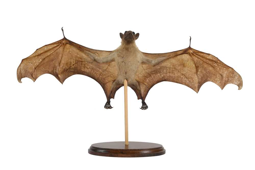 A TAXIDERMY FRUIT BAT (PTEROPODIDAE) - Image 2 of 3