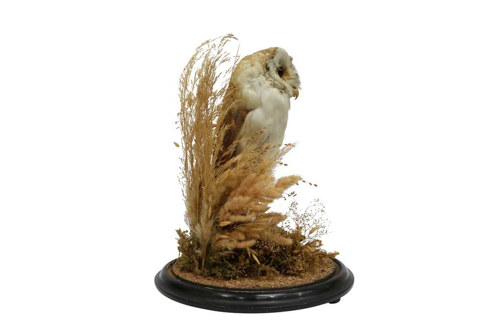TAXIDERMY: A VICTORIAN BARN OWL IN GLASS DOME - Image 2 of 5