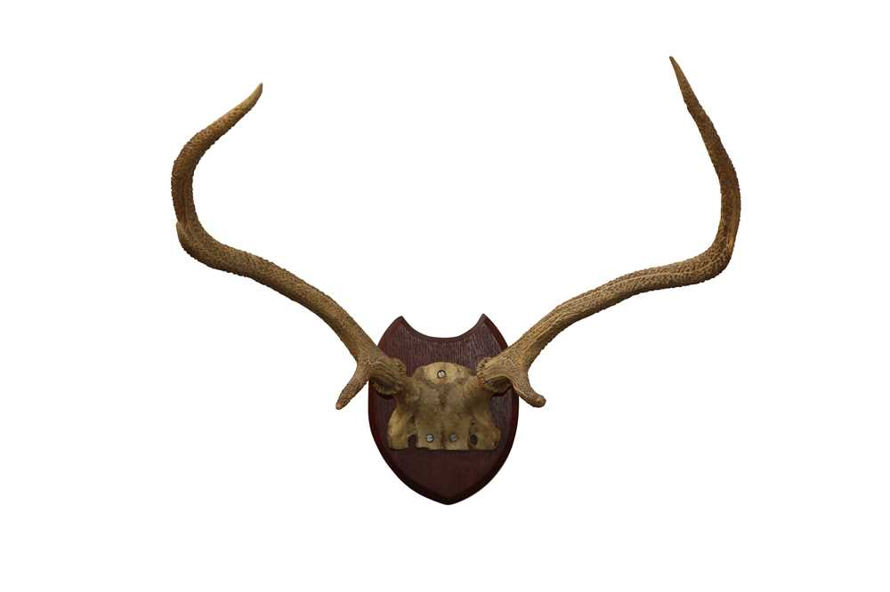 TAXIDERMY:A PAIR OF RED STAG ANTLERS