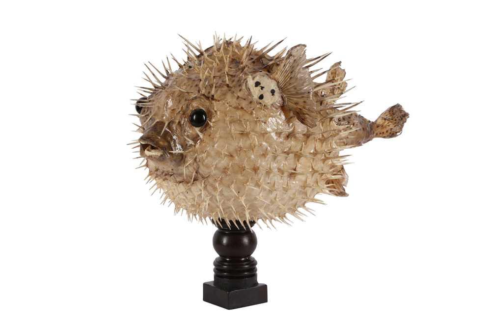 TAXIDERMY: PORCUPINE FISH, AKA PUFFERFISH OR BLOWFISH
