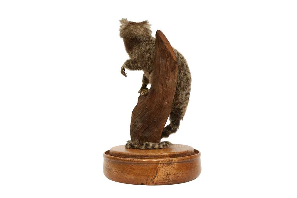 TAXIDERMY: COMMON MARMOSET MONKEY( CALLITHRIX JACCHUS) IN GLASS DOME - Image 3 of 5