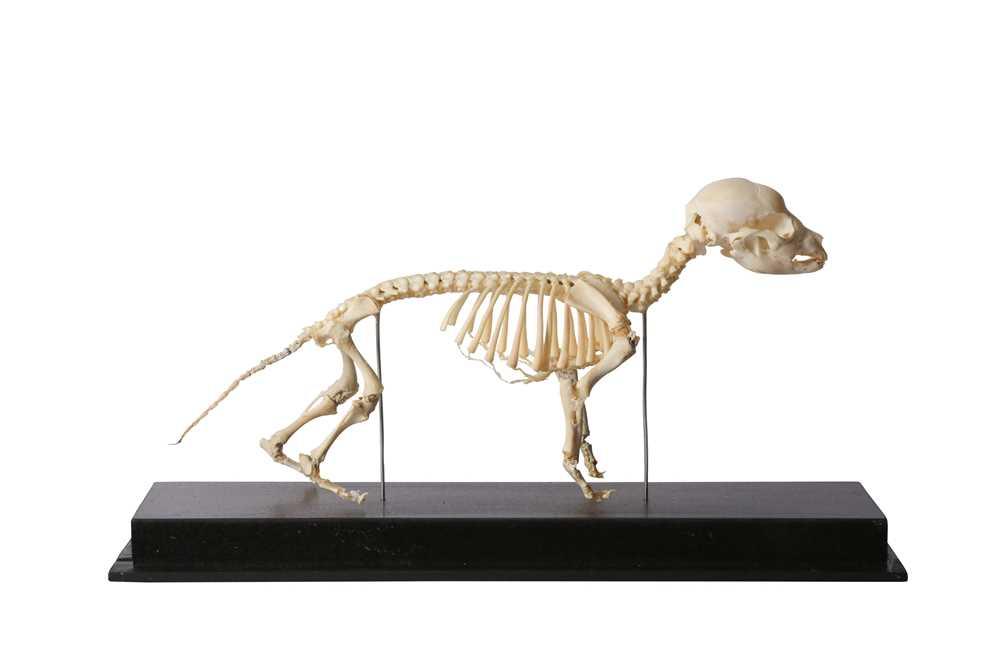 OSTEOLOGY: GREYHOUND PUPPY SKELETON - Image 2 of 2