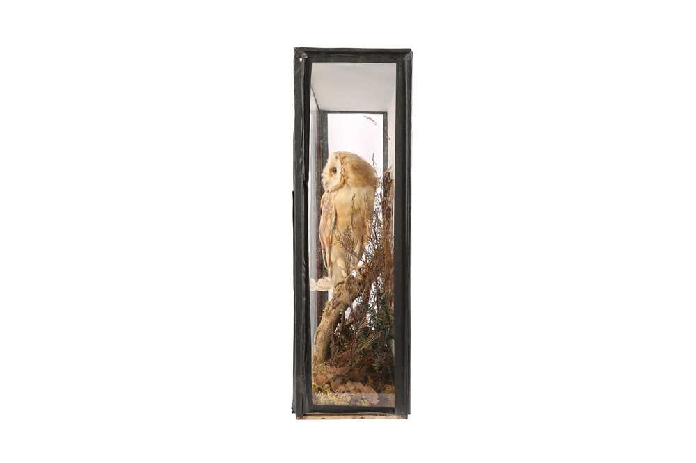 A VICTORIAN TAXIDERMY BARN OWL BY SCHUMACH & SONS - Image 2 of 4