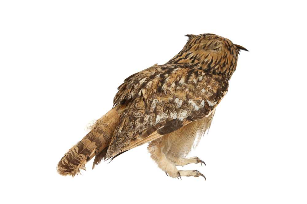 A TAXIDERMY INDIAN EAGLE OWL - Image 2 of 4