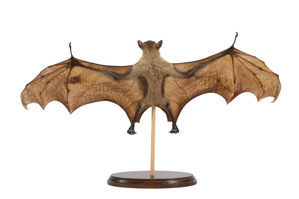 A TAXIDERMY FRUIT BAT (PTEROPODIDAE) - Image 3 of 3