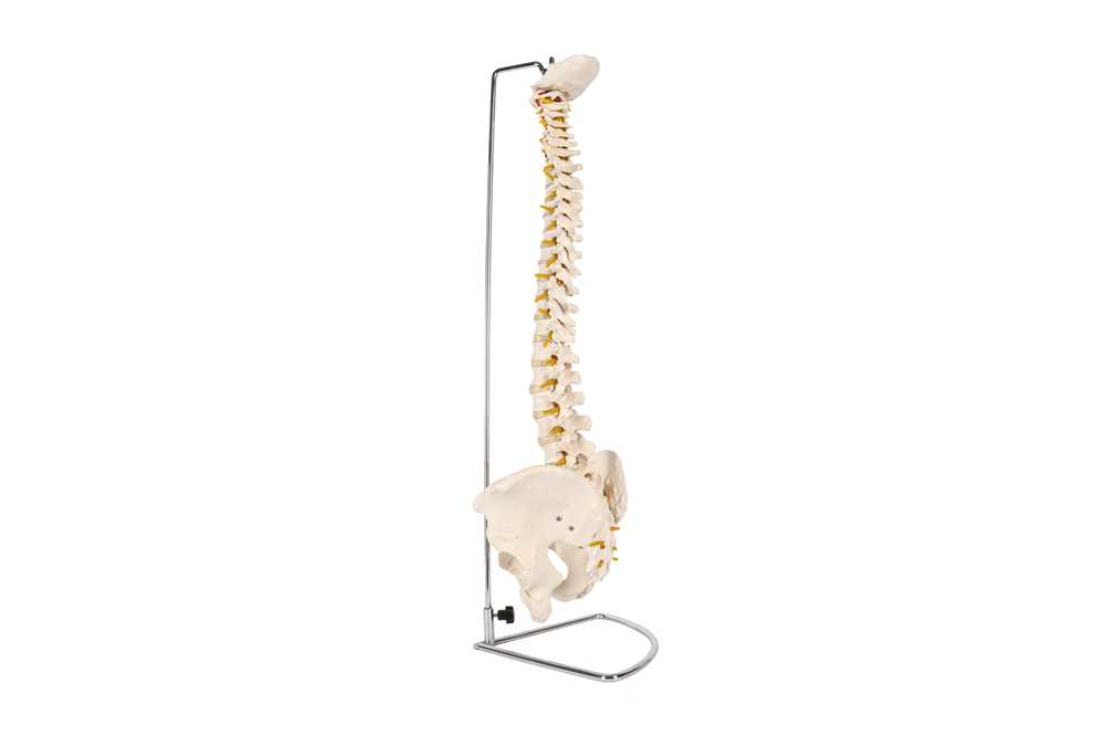 A 20TH CENTURY RESIN TEACHING MODEL OF THE SPINAL AND HIP BONES - Image 2 of 4