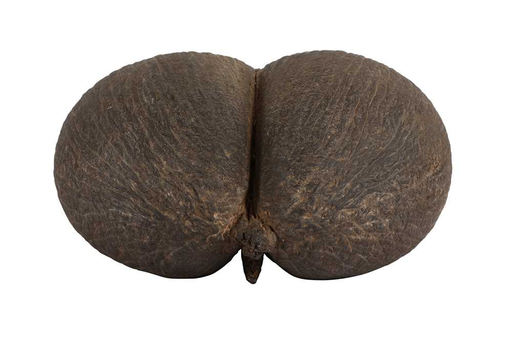 AN EXCEPTIONAL COCO DE MER NUT, IN TACT AND WITH KERNEL COCO DE MER 'THE WORLD'S LARGEST SEED' - Image 3 of 6