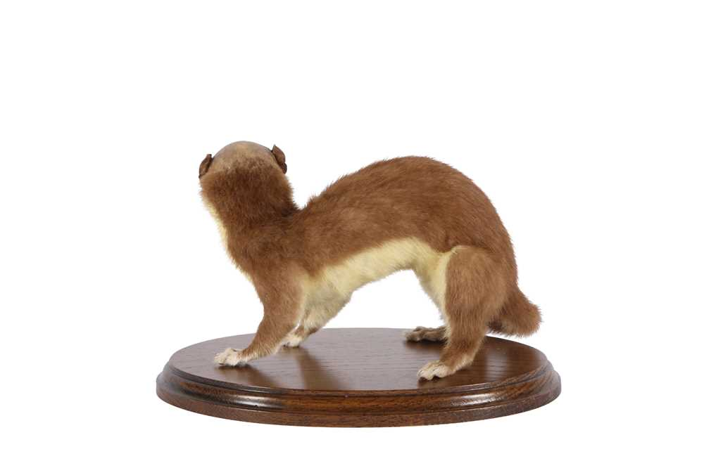 TAXIDERMY: 'MAN-FACED STOAT' (MUSTELA SAPIENS) - Image 2 of 2