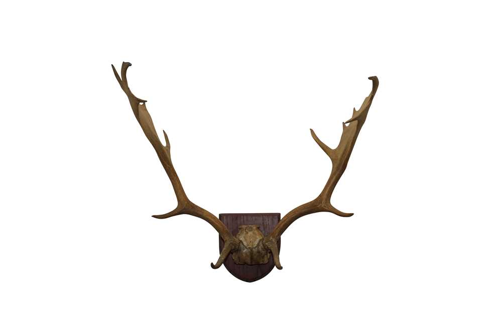 TAXIDERMY: A PAIR OF FALLOW BUCK ANTLERS