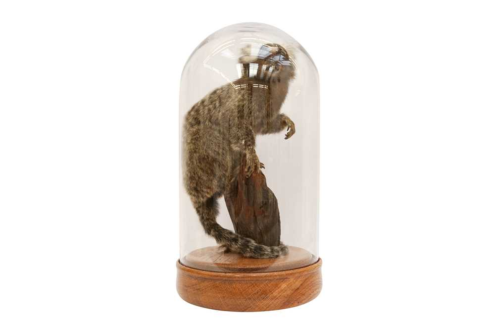 TAXIDERMY: COMMON MARMOSET MONKEY( CALLITHRIX JACCHUS) IN GLASS DOME - Image 5 of 5