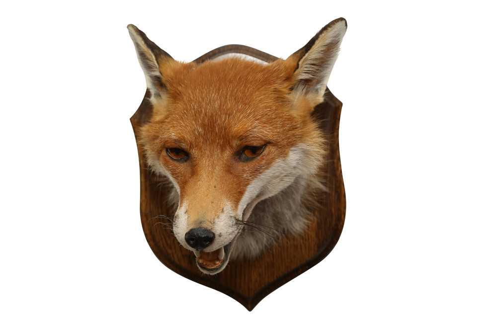 TAXIDERMY: RED FOX ( VULPES VULPES) HEAD ON OAK SHIELD - Image 3 of 3