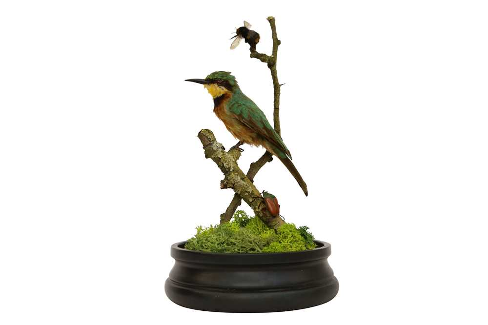 TAXIDERMY: A LITTLE BEE-EATER (MEROPS PUSILLUS) IN GLASS DOME
