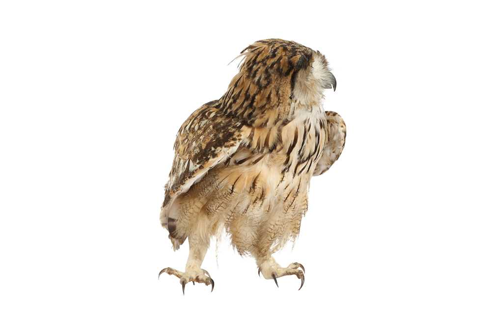 A TAXIDERMY INDIAN EAGLE OWL - Image 3 of 4