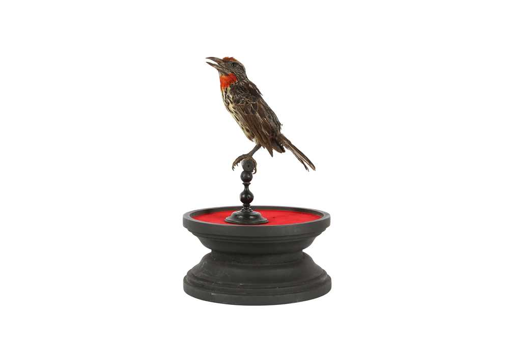 A VICTORIAN TAXIDERMY BLACK SPOTTED BARBET - Image 3 of 5