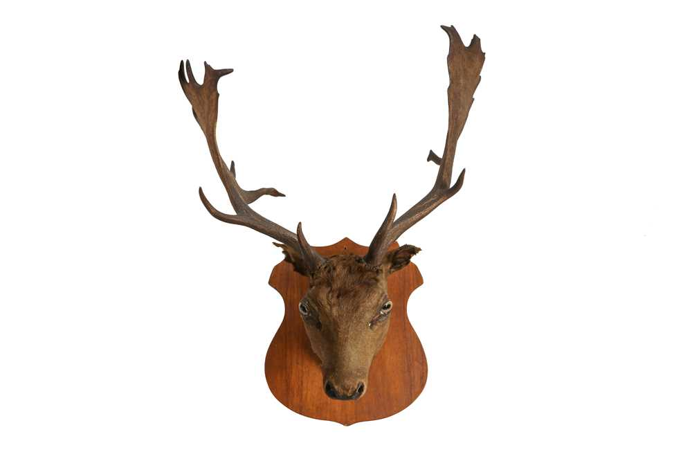 A TAXIDERMY VICTORIAN OTTER TOGETHER WITH A STAG'S HEAD - Image 4 of 6