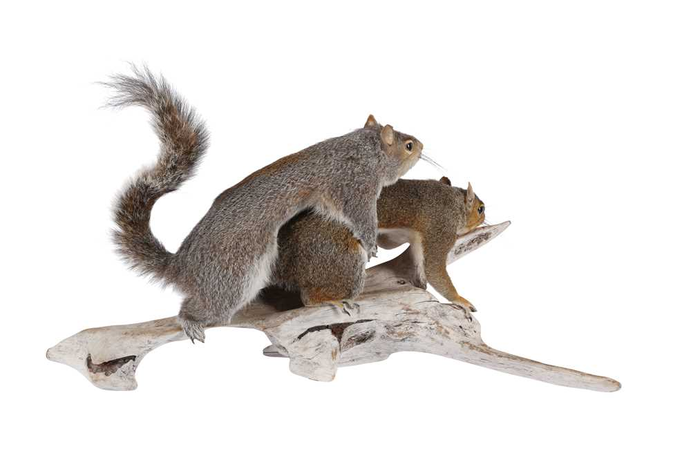 TAXIDERMY: 'AMOROUS SQUIRRELS' - Image 2 of 2