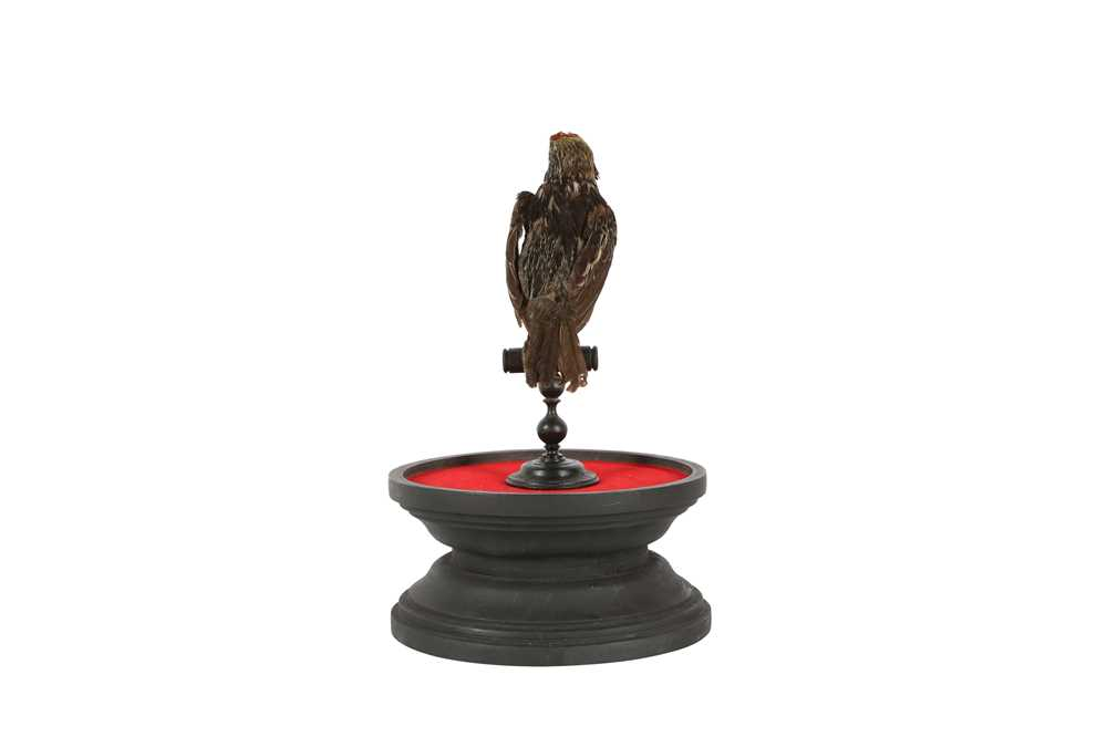 A VICTORIAN TAXIDERMY BLACK SPOTTED BARBET - Image 5 of 5