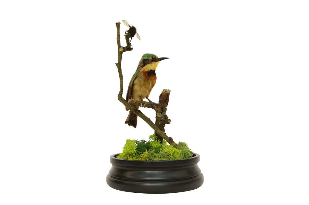 TAXIDERMY: A LITTLE BEE-EATER (MEROPS PUSILLUS) IN GLASS DOME - Image 4 of 5