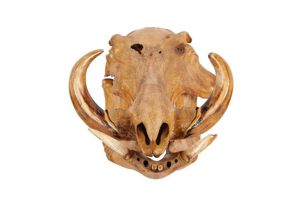 TAXIDERMY/ OSTEOLOGY: COMMON WARTHOG(PHACOCHOERUS AFRICANUS) SKULL - Image 3 of 3