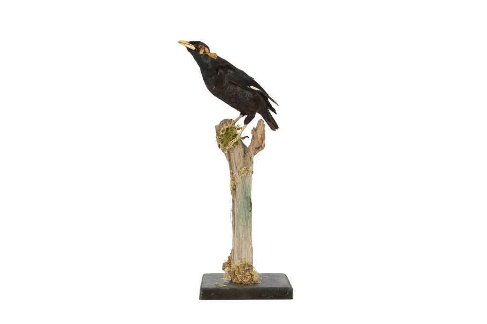 A VICTORIAN TAXIDERMY HILL MYNAH BIRD