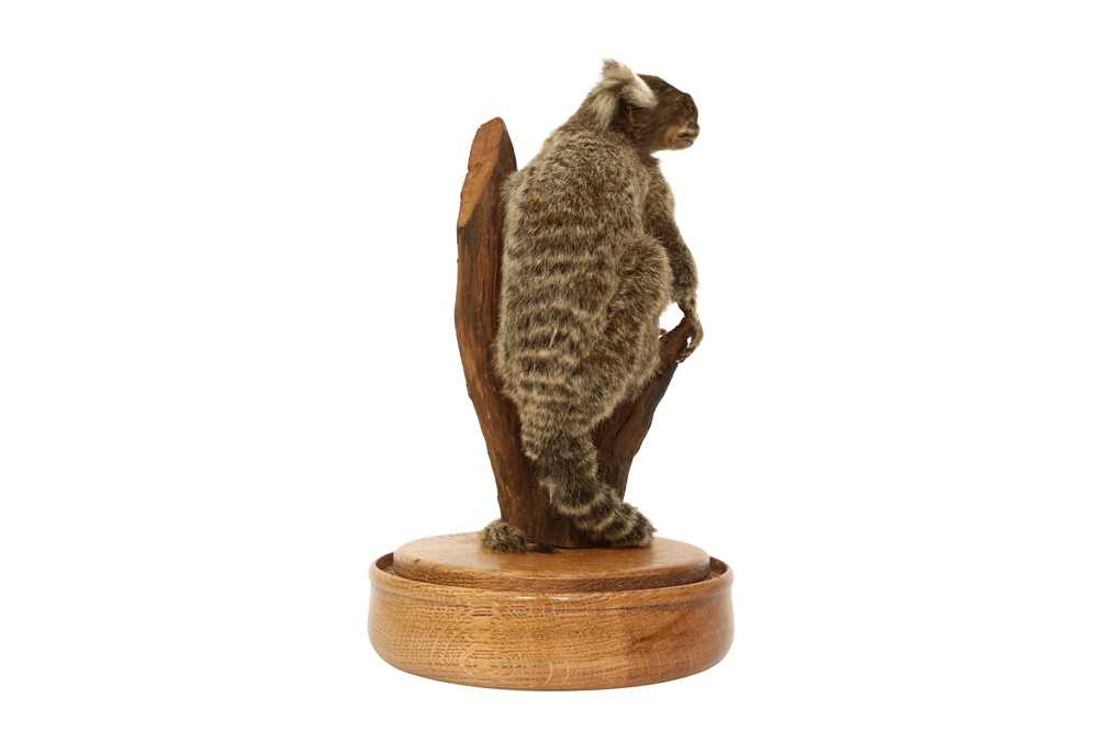 TAXIDERMY: COMMON MARMOSET MONKEY( CALLITHRIX JACCHUS) IN GLASS DOME - Image 4 of 5