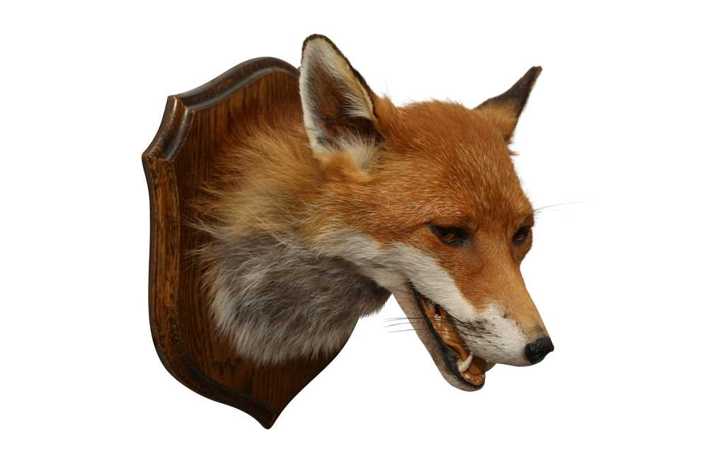 TAXIDERMY: RED FOX ( VULPES VULPES) HEAD ON OAK SHIELD