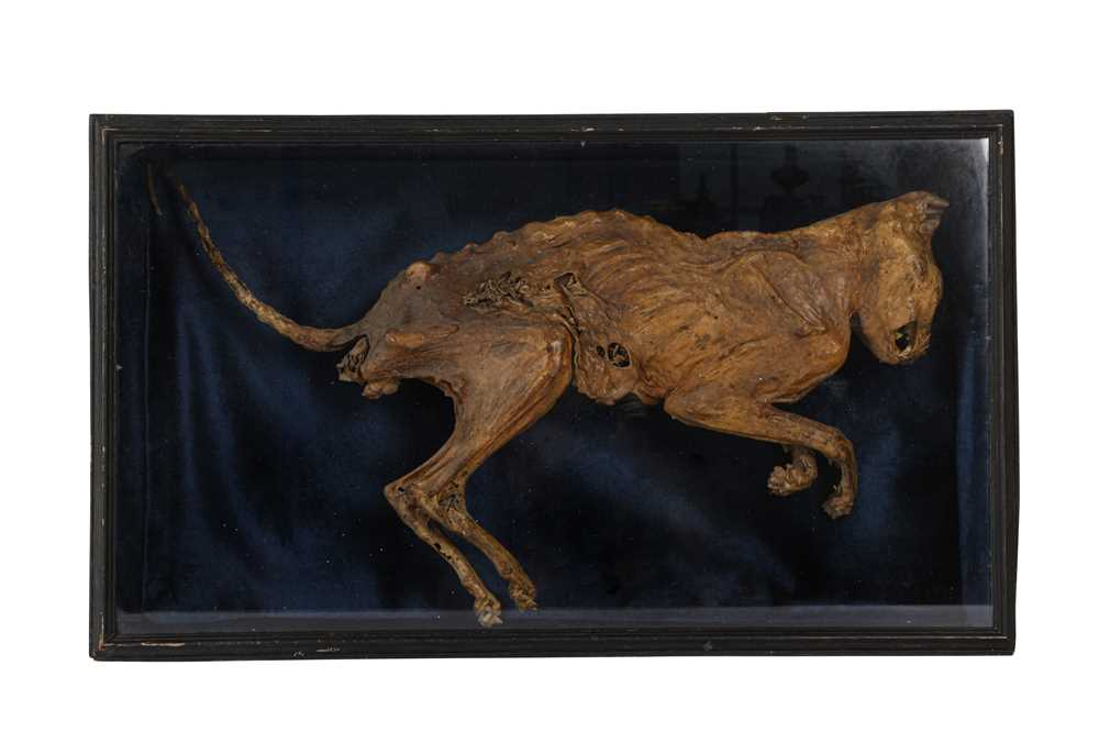A MUMMIFIED CAT, DISPLAYED IN EBONISED 'COFFIN'