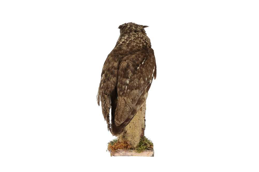 A TAXIDERMY MAGELLAN EAGLE OWL - Image 3 of 4