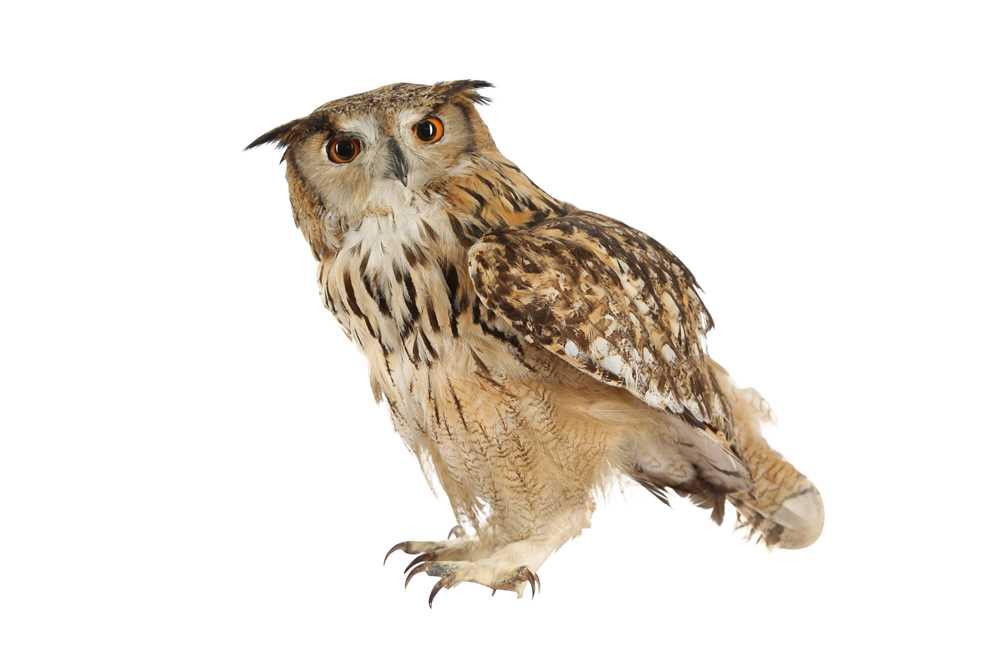 A TAXIDERMY INDIAN EAGLE OWL
