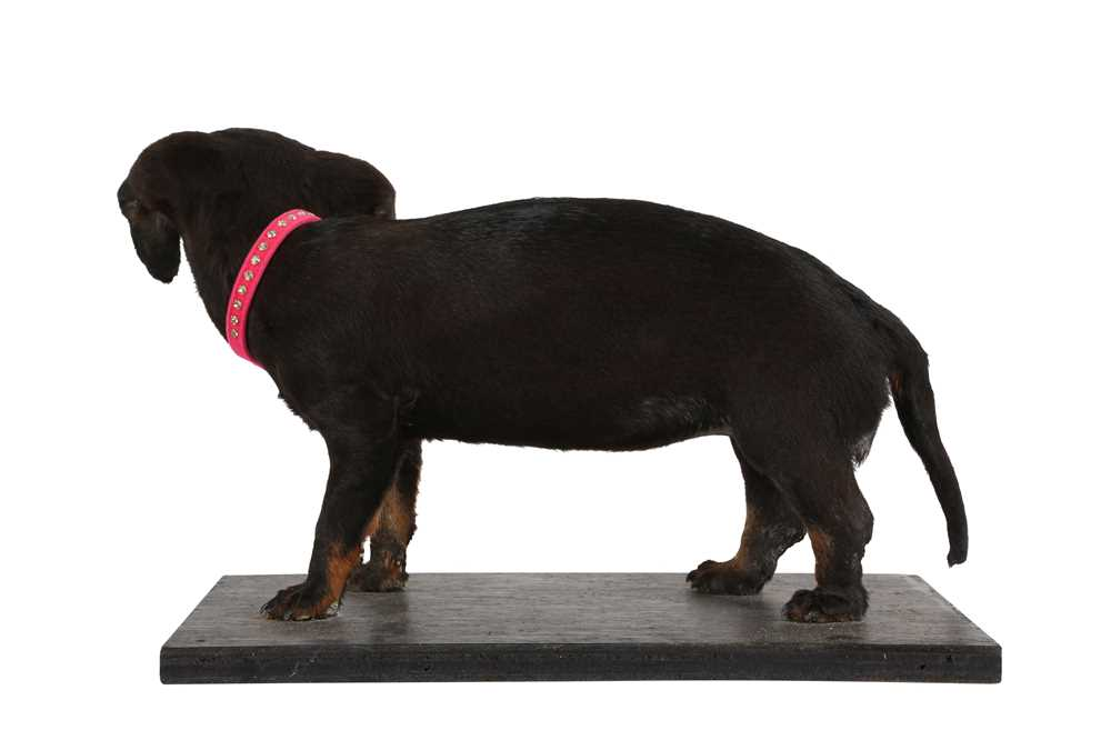 A TAXIDERMY DACHSHUND (CANIS LUPUS FAMILIARIS) - Image 2 of 2