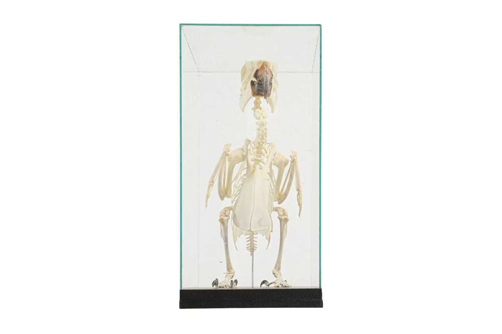 THE SKELETON OF AN AMAZON PARROT IN A GLASS CASE - Image 3 of 5