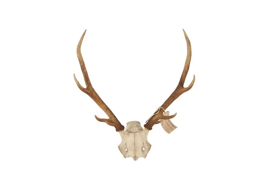 THREE SETS OF DEER ANTLERS INCLUDING ONE DATED 1904 - Image 3 of 5