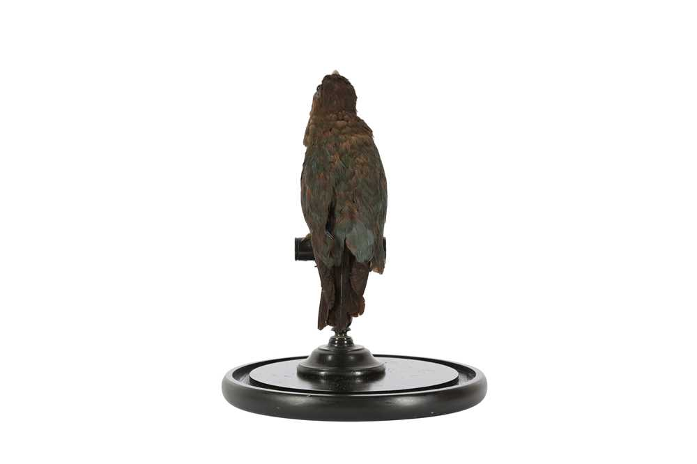 A VICTORIAN TAXIDERMY ORIENTAL DOLLAR BIRD - Image 3 of 5