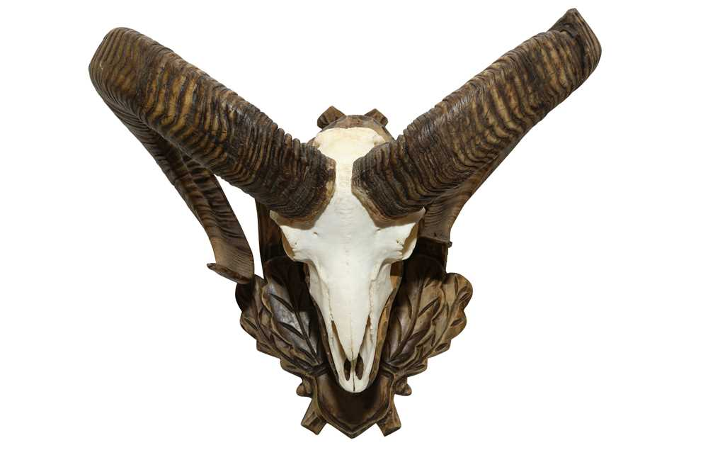 TAXIDERMY: A PAIR OF EUROPEAN MOUFLON (OVIS ARIES MUSIMON) HORNS AND SKULL ON CARVED WALL MOUNT - Image 3 of 4