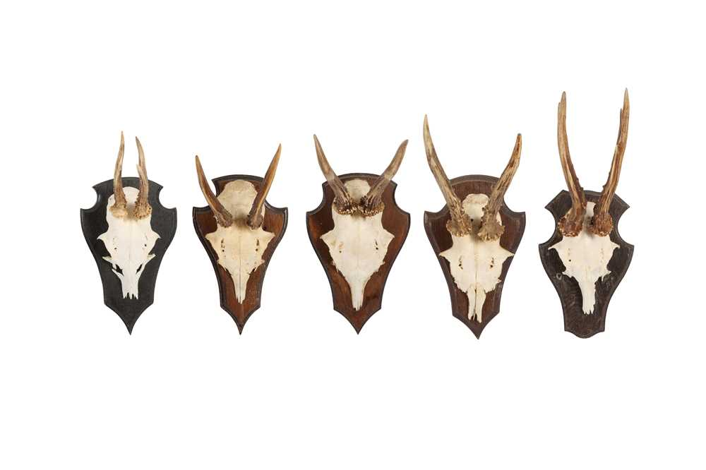 A COLLECTION OF FIVE ROE DEER ANTLERS ON SHIELDS