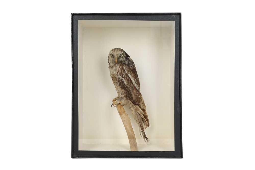 A VICTORIAN TAXIDERMY HAWK OWL