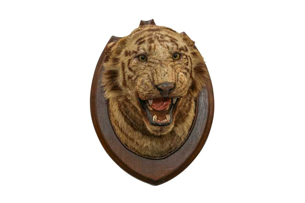 TAXIDERMY: A BENGAL TIGER (PANTHERA TIGRIS) HEAD BY THEOBOLD BROS., INDIA - Image 2 of 3