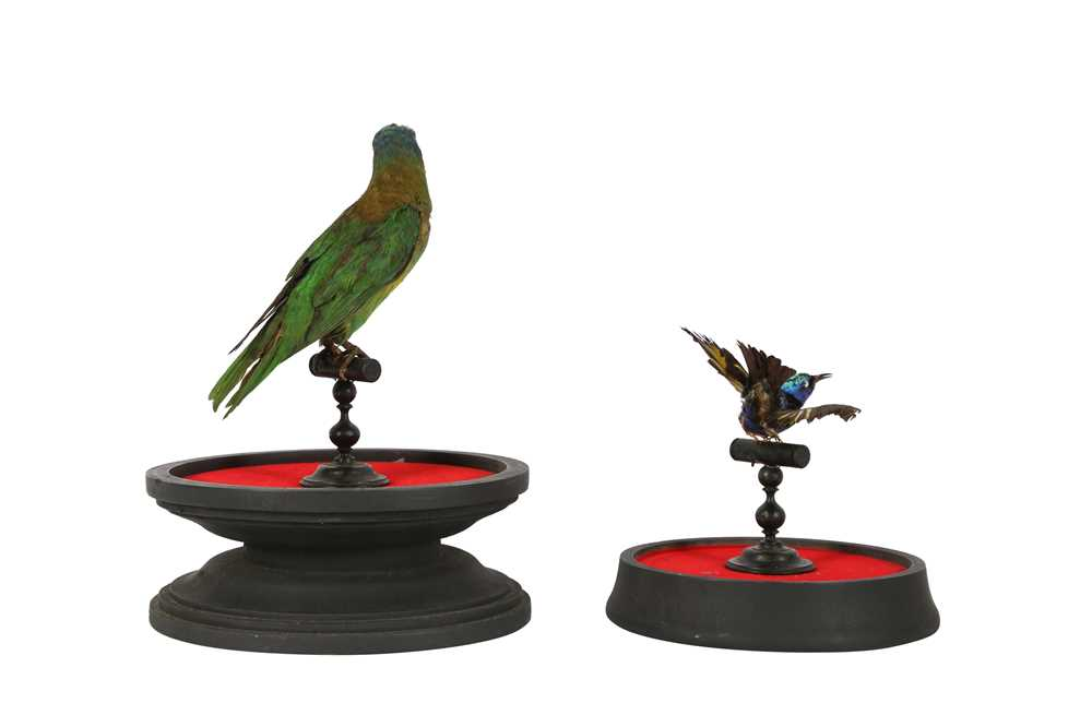 A VICTORIAN TAXIDERMY MUSK LORIKET TOGETHER WITH A RED LEGGED HONEY CREEPER - Image 4 of 5