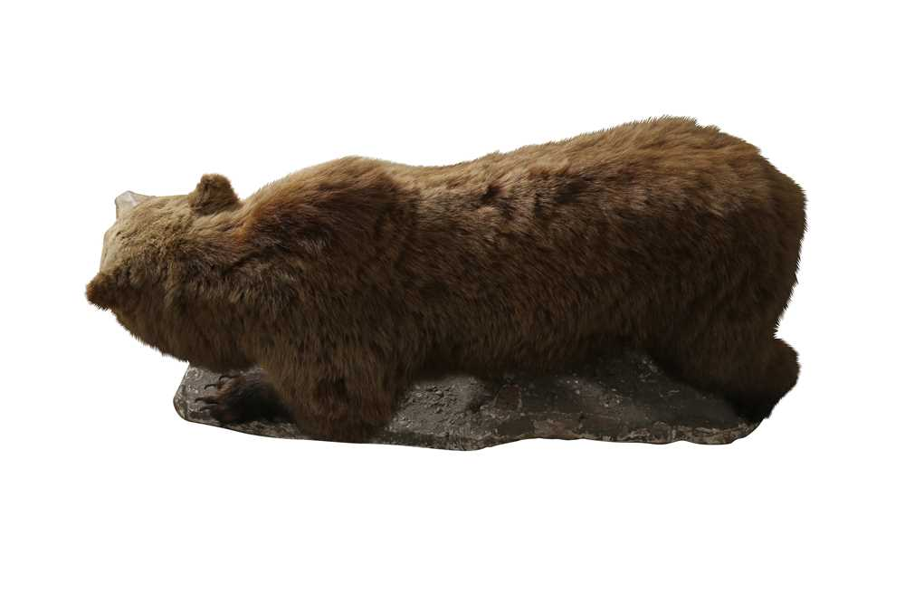 TAXIDERMY: GRIZZLY BROWN BEAR (URSUS ARCTOS), LATE 19TH CENTURY, FULL MOUNT ON ALL FOURS - Image 2 of 3