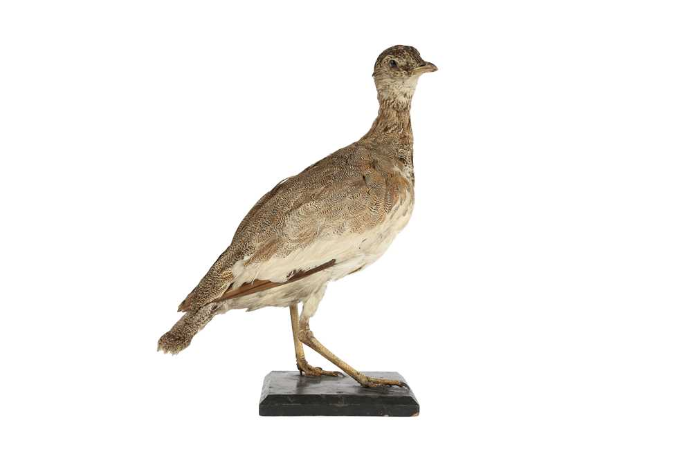 A VICTORIAN TAXIDERMY LITTLE BUSTARD - Image 2 of 4