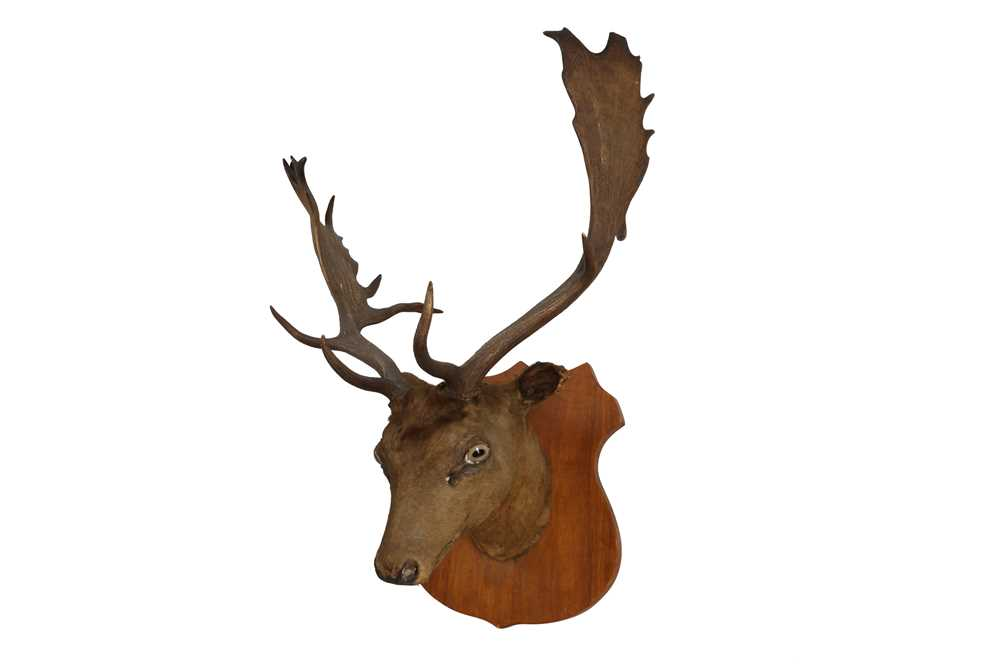 A TAXIDERMY VICTORIAN OTTER TOGETHER WITH A STAG'S HEAD - Image 5 of 6