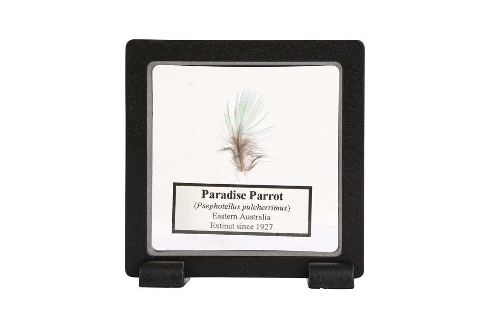 A FEATHER OF THE EXTINCT PARADISE PARROT