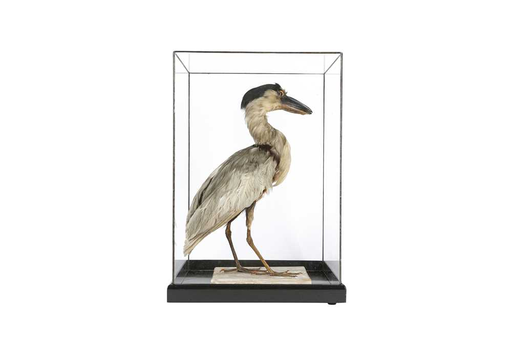 A VICTORIAN TAXIDERMY BOAT BILLED HERON - Image 2 of 4